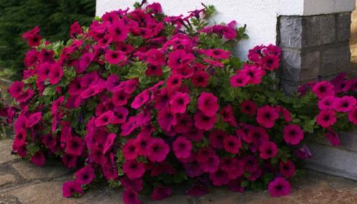 Низкорослые многолетние цветы для клумбы. Низкорослые многолетние и однолетние цветы для клумбы: фото и названия