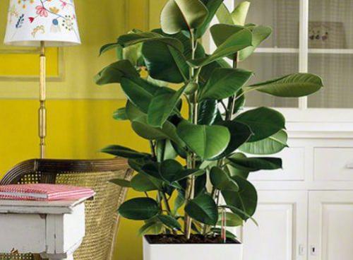 Крупные растения для дома. Крупные растения из разряда традиционных, классических