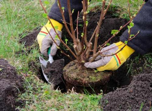 Какие кустарники посадить осенью. Положительные и отрицательные факторы при посадке дерева в осень
