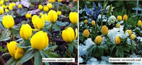 Цветок высокий с большими листьями. Весенник или Эрантис (E ranthis)