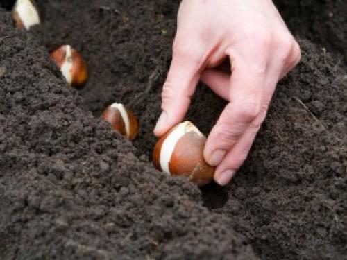 Как дома вырастить тюльпаны в горшке. Как посадить тюльпаны в домашних условиях?