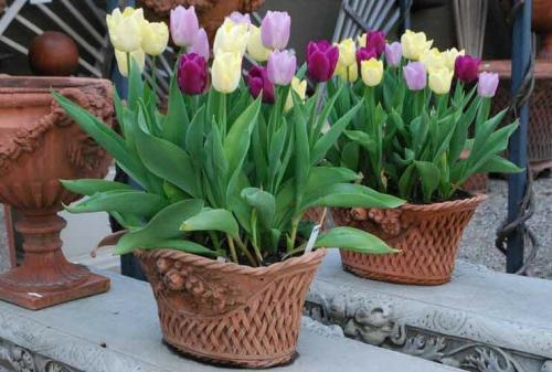 Как вырастить тюльпаны в квартире зимой. Как вырастить тюльпаны к Новому году на подоконнике