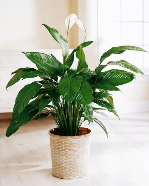 Какие цветы держать дома для счастья. 10 комнатных растений, притягивающих любовь и благополучие в семье