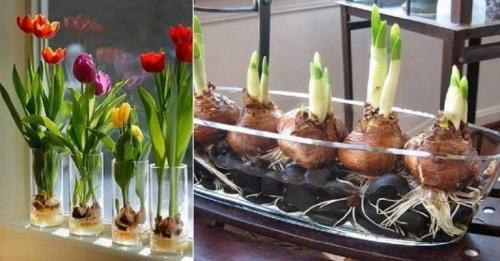 Как вырастить тюльпаны из луковиц дома. Цветущие тюльпаны круглый год. Секрет, как вырастить тюльпаны дома без использования земли